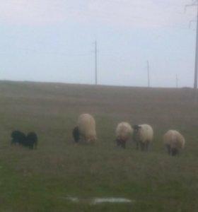 Овцы ягнят