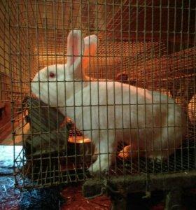 Кролики на развод и на мясо,