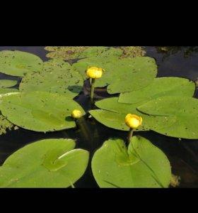 Кубышка ,водная лилия