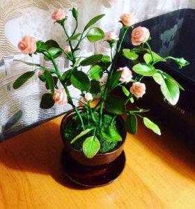 Чайные розы в горшке