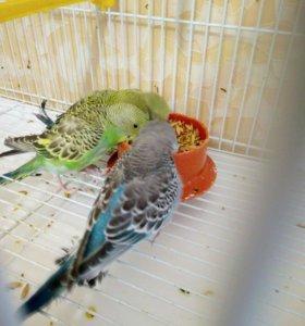 Волнистые попугайчики молодежь