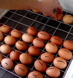 Яйца на инкубацию Брама и Кохинхины