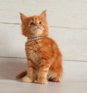 Котята мейн-кун красный солид