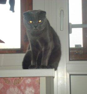 шотландскии кот вязка
