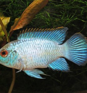 Нанакара ( самец и самка)