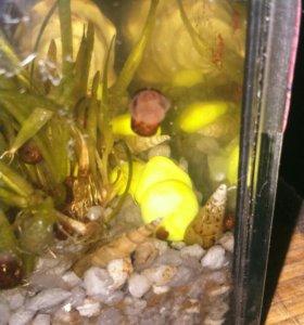 Улитки аквариумные, гуппи