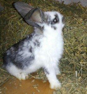 Самцы и самки крупных кроликов, цена за голову.