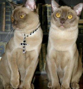 Продам котика в разведение