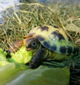 Черепаха сухопутная (средне азиатская)