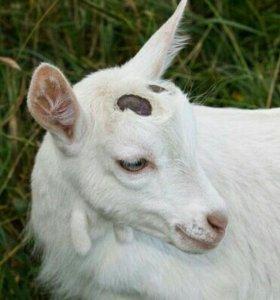 Обезрожу ваших козлят