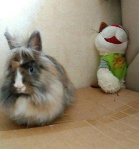 Кролик декоративный трехцветный