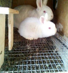 Кролики Новозеландцы Белые