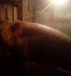 Свинья на мясо