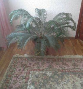 Комнатный цветок Цикас