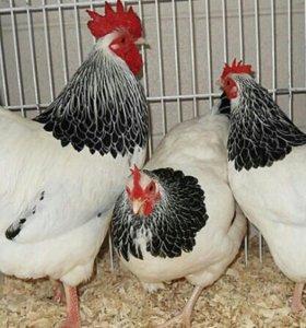 Цыплята кур Адлерская серебристая