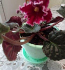 Фиалки разных расцветок