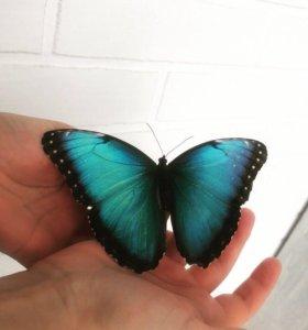 Живые тропические экзотические бабочки на подарок