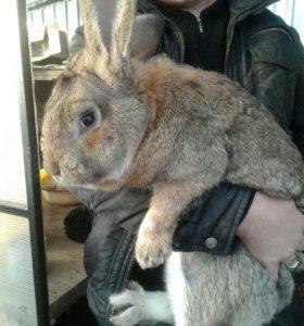 Крольчата мясных пород. Парное мясо кролика