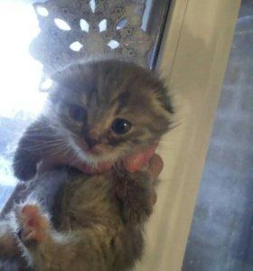 Шотланские котятки