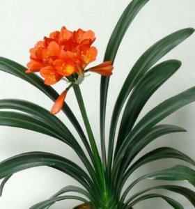Комнатный цветок Кливия оранжевая