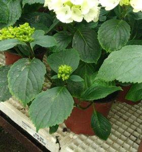Продаю гортензии и другие цветы