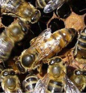 Пчелы (пчелопакеты)