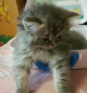 Персидские котята