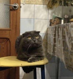 Вязка шотландский 🐱 приглашает кошечек