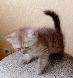 Кошечка британочка