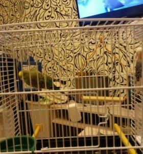 Волнистый попугай,остался желтый!