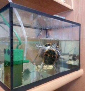 Продам красноухую черепаху(буся)