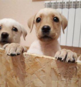 Лабрадоры щенки