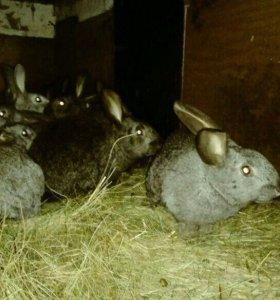 Кролы живым весом