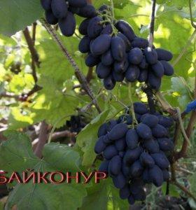 Саженцы винограда текущего года