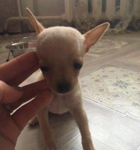 Продам щенков той-терьера