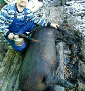 Мясо свинина , домашнее из деревни