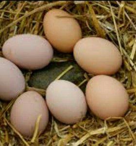 Яйца домашние инкубационные