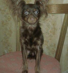 Продам подрощеного  щенка той-терьера
