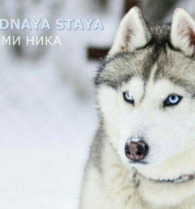 Девочка Сибирской Хаски