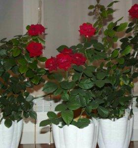 Розы комнатные