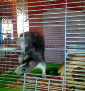 Крысы декоративные .