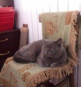 Шотландский кот на вязку. Породистый.