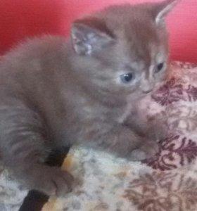 Котята, породы шотландская вислоухая страйт