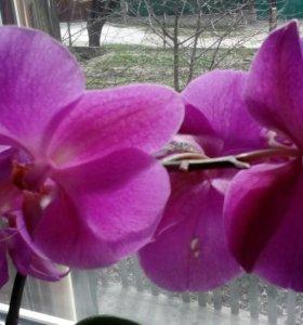 Орхидеи сиреневые (фаленопсис)