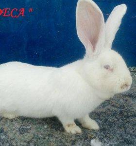 Кролики породы Французские бараны и Белые великаны