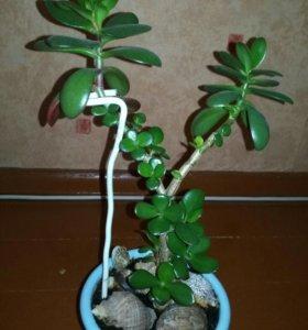 Продаю цветок денежное дерево.