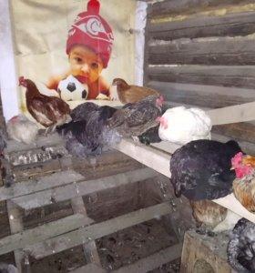 Инкубационое яйцо от домашних кур