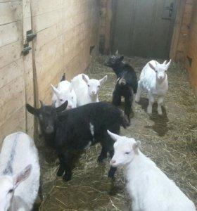 Молодняк коз и дойные козы
