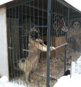 Щенки кавказской овчарки.