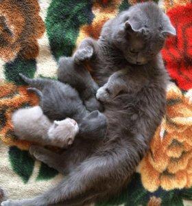 Шотландские вислоухие котята.